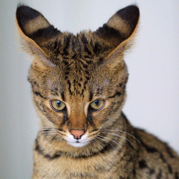 Servakot o de Savannah. Híbrido de gato común doméstico y serval africano.
