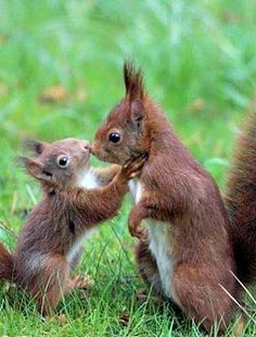 Mama & Baby Red Squirrels