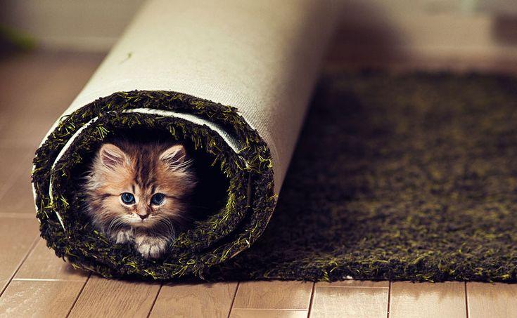 roll kitten