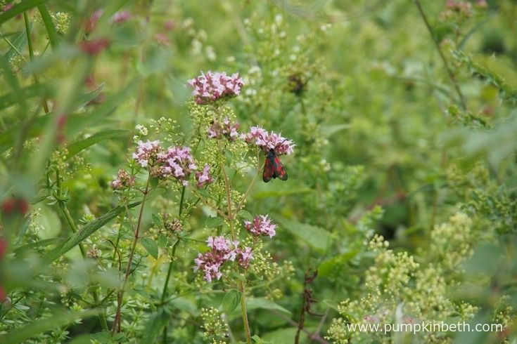 This is a day flying moth, seen feeding here on Origanum vulgare.  The Burnet moths aren't the easiest to identify - I think this is a Six-Spot Burnet.