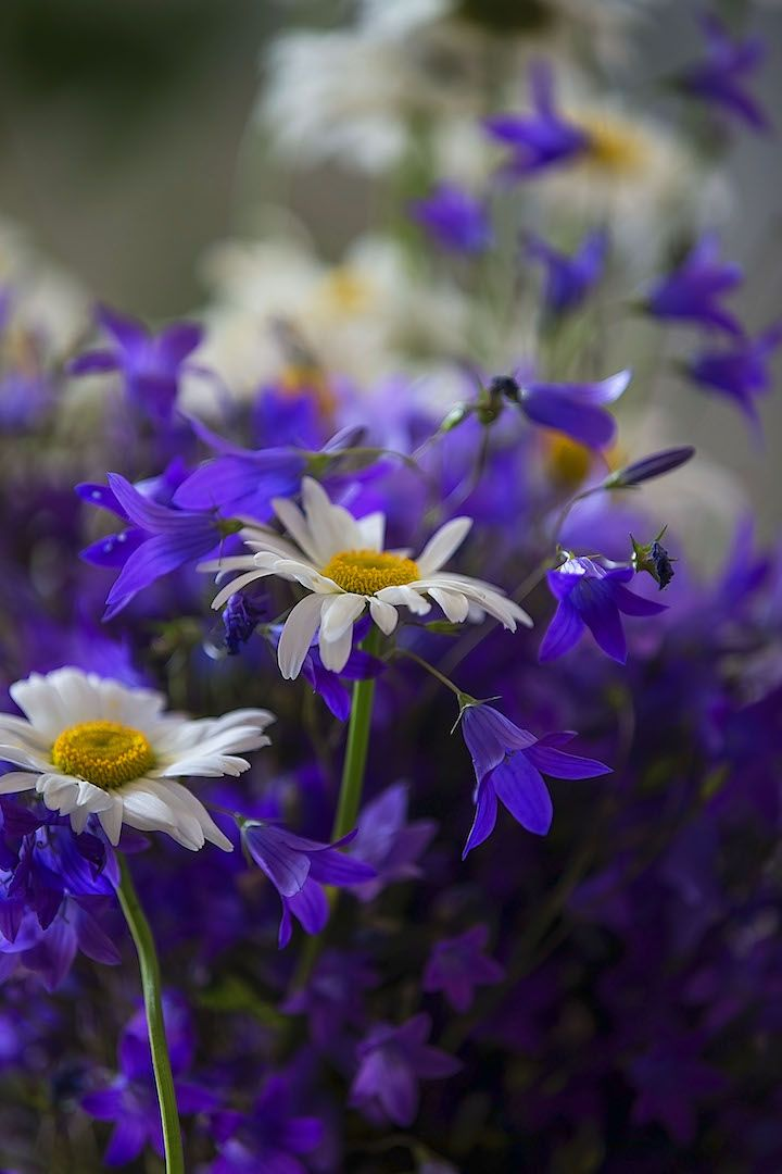 букет полевых цветов. фото: Ирина Майсова #camomile #photoirinamaysova