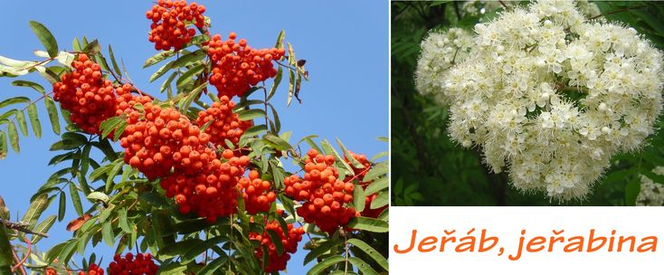 jerab-jerabina-ucinky-na-zdravi-co-leci-pouziti-uzivani-vyuziti