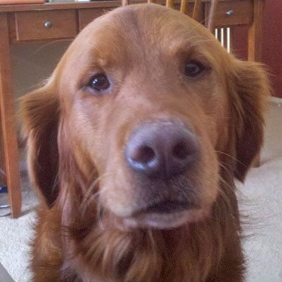 Poor Stanley, how could you say no to that face!!  This is Stanley - 6 yrs old. He gets along with other dogs, rides well in a car, walks well on leash, is potty trained and has good house manners. He is a happy boy looking for a forever home and is at Retrive A Golden Minnesota.