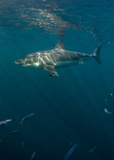 Guadalupe Great White Sharks by helenbrierley