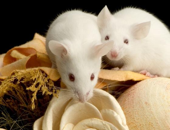 Mysz domowa:  http://www.kakadu.pl/Gryzonie/mysz-domowa.html