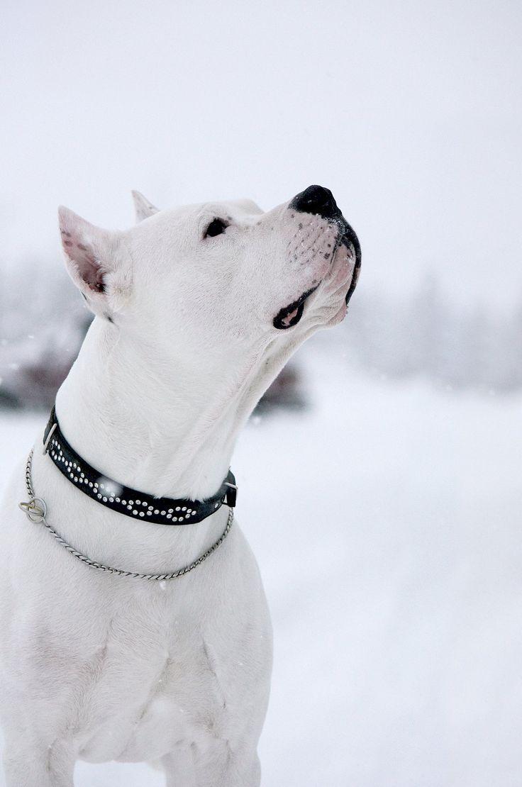 Snow Day #dogo #argentino