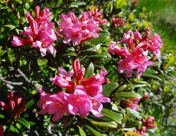 1- Alpenrose Rhododendron ferrugineum: The National Flower of Sweden