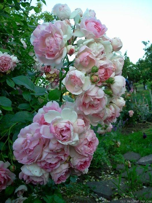 39 jasmina 39 rose photo rose garden dreams pinterest. Black Bedroom Furniture Sets. Home Design Ideas