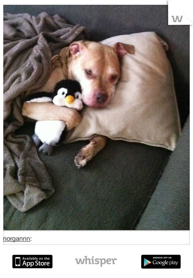 Pit bull snuggling with stuffed penguin