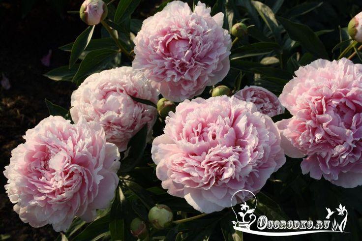 """ПОЧЕМУ НЕ ЦВЕТУТ ПИОНЫ    Роскошное цветение пионов каждую весну украшает сады вокруг наших загородных домов.  Недаром эти цветы в древности были любимцами китайских императоров — душистые, яркие их шапки поражают воображение!    При этом пионы неприхотливы и, правильно посаженные, растут и цветут до 100 лет на одном месте. Самые подходящие цветы для посадки у любимого загородного дома! Также читайте: """"Древовидный пион - посадка и уход"""" http://ogorodko.ru/drevovidnyj-pion-posadka-i-uxod.html…"""