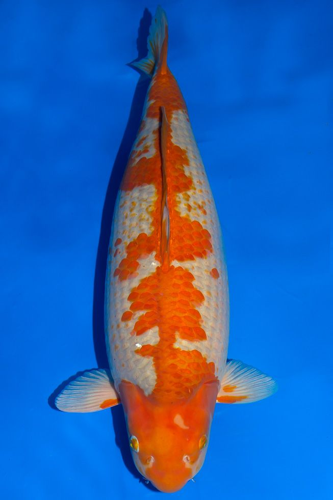 130 best images about koi name on pinterest the head for Ochiba koi fish