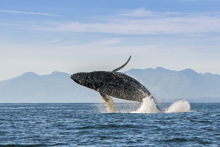 Jumping Humpback whale seen near Tofino, BC #Tofino #Uclelet