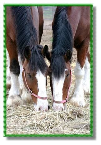 Larsons Famous Clydesdales tourist attraction in Ripon Wisconsin 90 minute tour and show with museum and souvenir shop. Clydesdale Tourist Attraction, Famous Clydesdales for Sale, Draft horses for sale, Clydesdale Horse Show, Clydesdale museum, Clydesdal