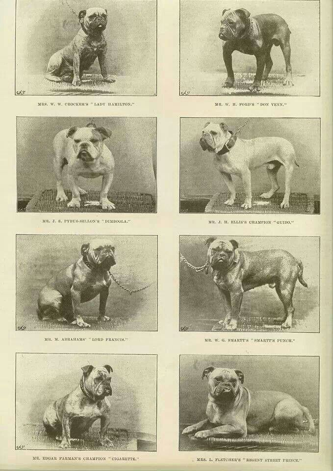 Vintage bulldog pic | Bulldog History | Dogs, French ...