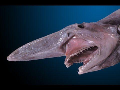 O alien das profundezas: Raro tubarão-duende é capturado na costa da Aus...