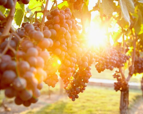 Travel photograph of the sun shining through the grapevines at the Pelee Island Winery.  Location: Pelee Island Winery, Pelee Island, Ontario, Canada