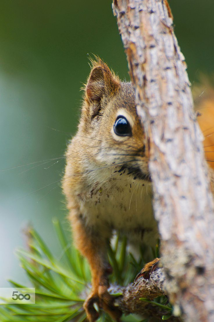 Squirrel playing coy as I was capturing shots of it. Killarney Provincial Park, ON