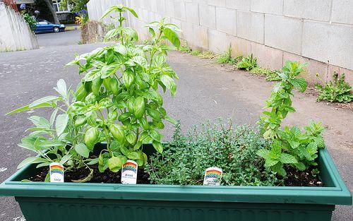 I love it -  Herbs / http://www.everydaygardening.net/herbs-33/
