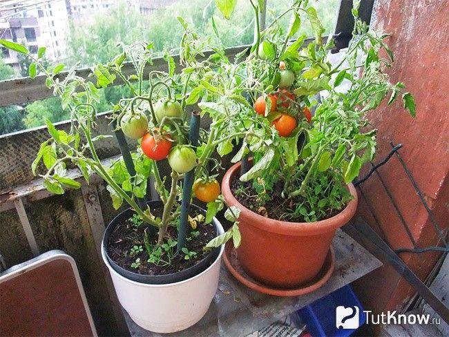 Выращивание помидоров дома и уход