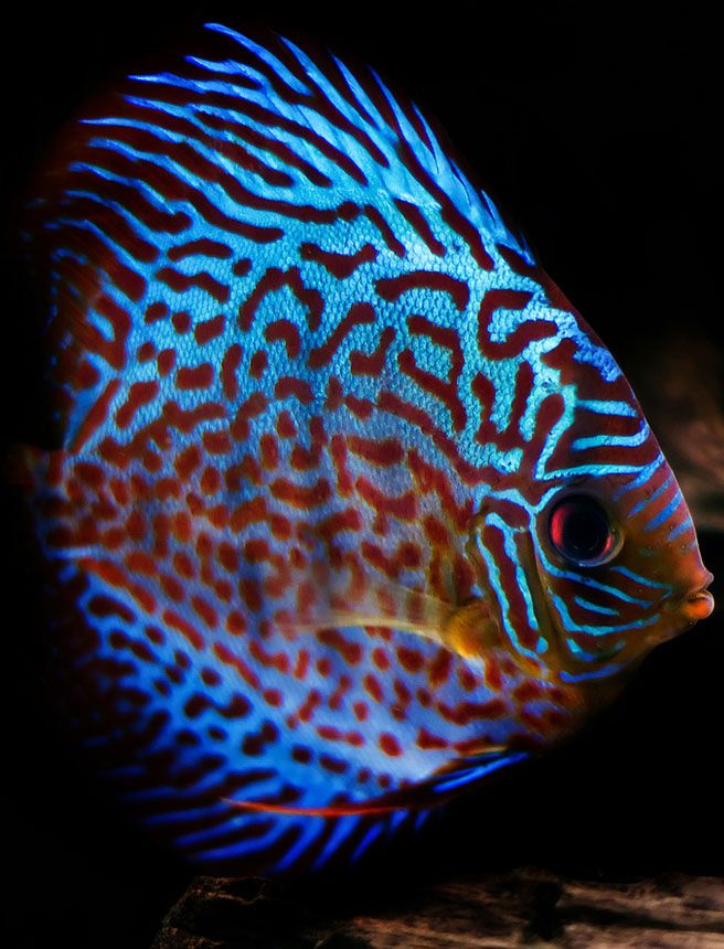 Best 25 beautiful tropical fish ideas on pinterest for Order fish online