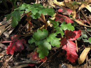A Brush with Poison Oak: Symptoms and Solutions