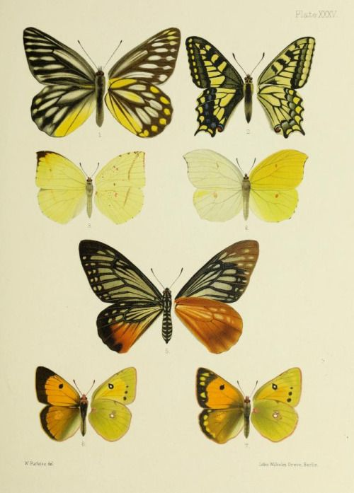 Lepidoptera illustrations taken from 'Butterflies from China, Japan and Corea' by John Henry Leech, 1892.