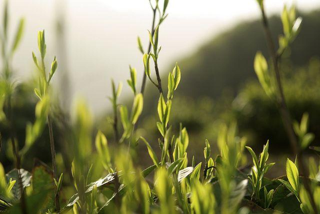 Théiers de Huang Shan Mao Feng|Huang Shan Mao Feng tea trees by Camellia-Sinensis, via Flickr