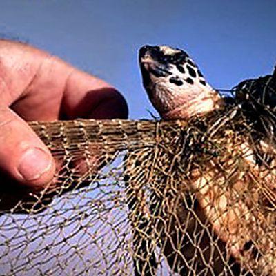 Maldives- Stop Killing Endangered Sea Turtles