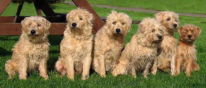 Dutch-Smoushond- breed dogs