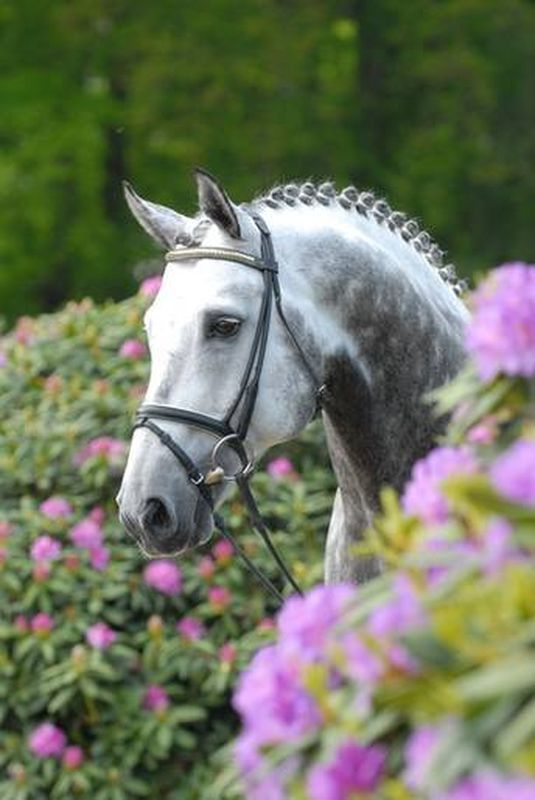 Royal Diamond, gray Oldenburg Stallion, by (Rubinstein I / Inschallah AA) born in 1994, standing approximately 16.2 hands.