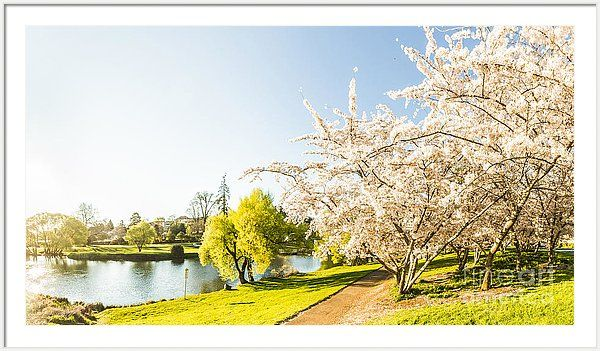 Spring Framed Print featuring the photograph Deloraine Cherry Tree Panorama by Jorgo Photography - Wall Art Gallery