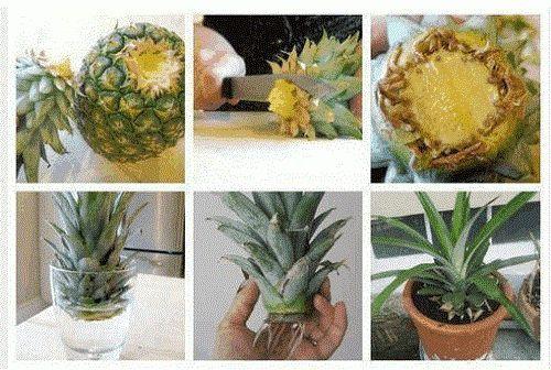 Läs vidare om du är nyfiken på hur man odlar en ananas hemma. Allt som du behöver är toppen från en ananas, en burk med vatten och en blomkruka.