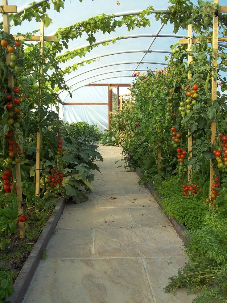 My polytunnel showing a heavy crop of tomatoes and weeds in early September 2013