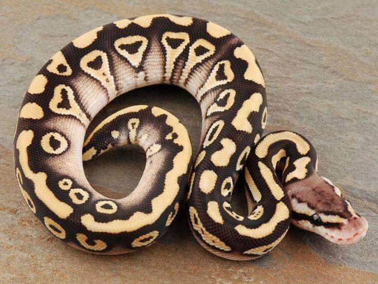Desert Mystic Pastel Ball Python Morph