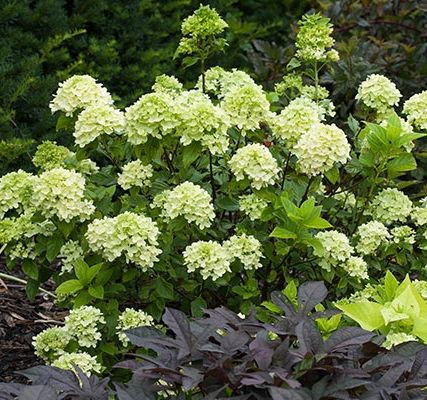 Little Lime (Hydrangea paniculata 'Jane') is similar in minty green color to the blooms of the bigger 'Limelight', but this dwarf version fits into smaller beds and borders. The mounding blooms mature to a pretty pink by the end of September. Grows up to 5 feet high and wide. Zones 3-9; Proven Winners