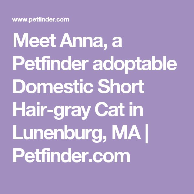 Meet Anna, a Petfinder adoptable Domestic Short Hair-gray Cat in Lunenburg, MA   Petfinder.com