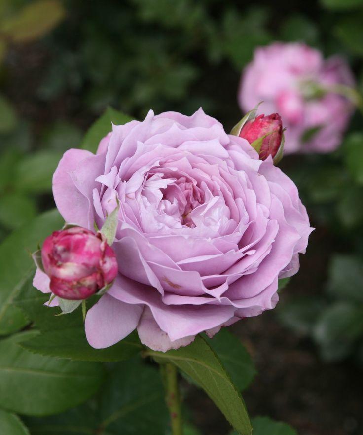 173 best roses purple burgundy images on pinterest. Black Bedroom Furniture Sets. Home Design Ideas