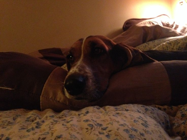 Bassett hound lick love your