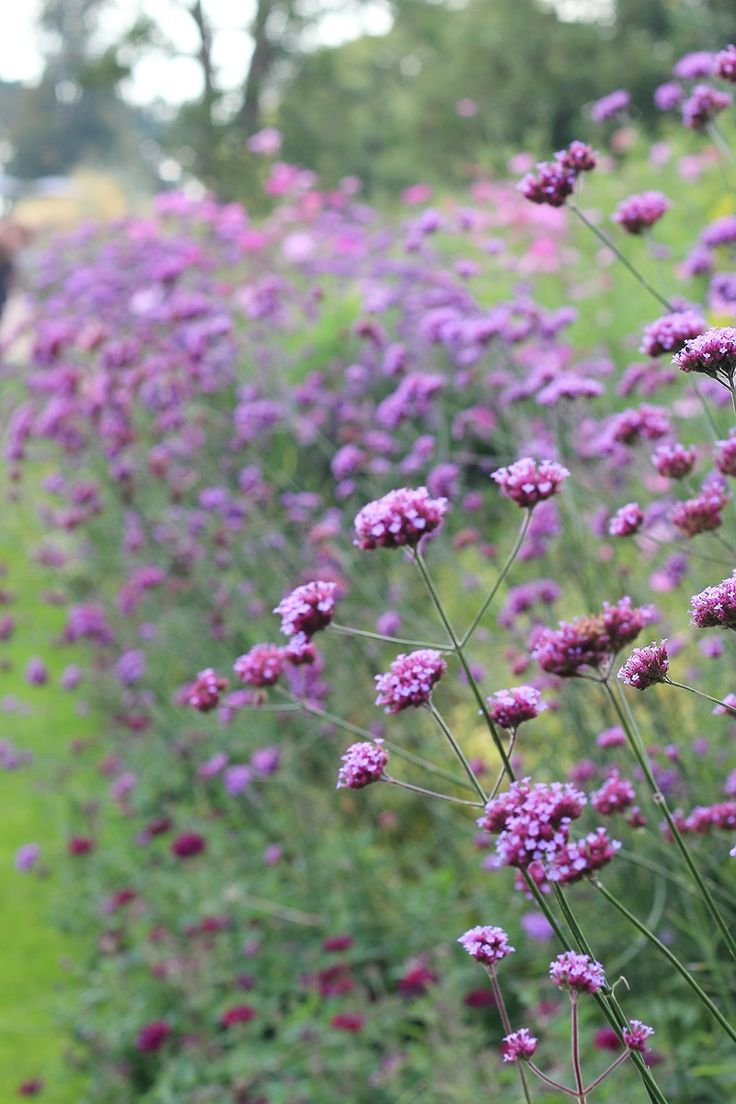 Finally!! Verbena bonariensis in my garden. Gave up on the seeds and bought a…