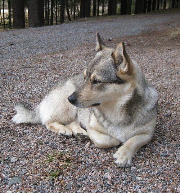 Swedish Vallhunds #Dogs #Puppy