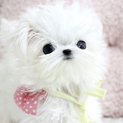 「Male Maltese Theo for sale. He is estimated to be 2-2.5 pounds of love fully grown. Theo loves to give tons and tons of kisses  He has a ice white Silky…」
