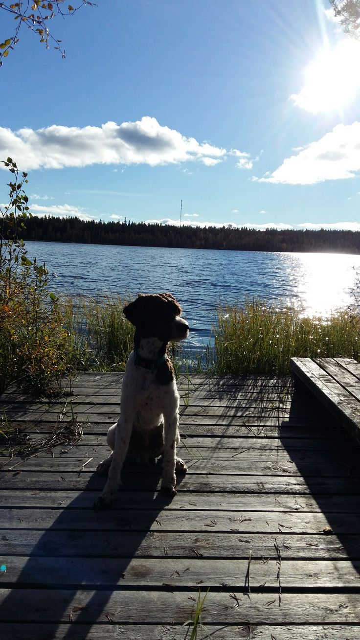 My lagotto romagnolo Aslak  at lakeja Kitka Kuusamo Lapland on Septeber afternoon