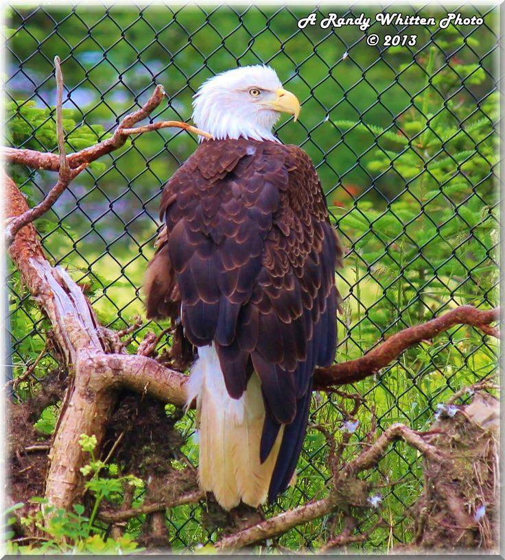 American Bald Eagle, Salmonier Nature Park