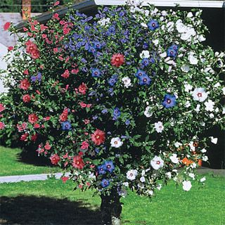 3-in-1 Rose of Sharon, 6-10 ft,  zones 4-9 love it! looks patriotic!  Never. Seen, one. before!!!!!