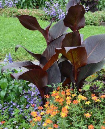 Exceptionnelles 2017 Canna 'Ebony Patra' Le canna 'Ebony Patra' Cette variation rougeâtre, issue d'un lot de cannas 'Cleopatra', une plante très variable, forme un plant particulièrement vigoureux. Son feuillage, en forme de pagaie, est à fort déploiement. Ses larges feuilles, très sombres, présente une couleur bordeaux marron nuancé de vert violacé. Sa floraison présente de grosses fleurs flamboyantes vivement colorées de rouge orange. Ses fleurs sont beaucoup plus grosses que celles de…