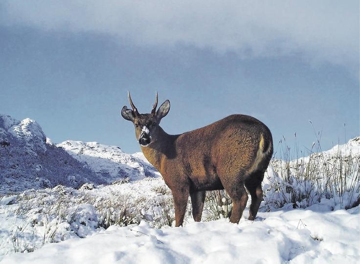 Huemul, the Chilean deer.