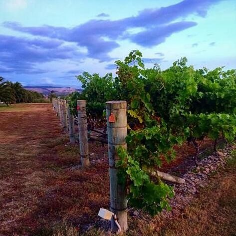 Cloudy day in the vineyard