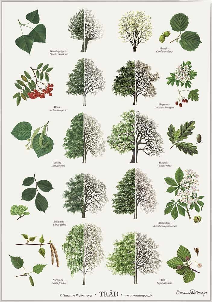De mest vanliga träd illustreret af Susanne Weitemeyer