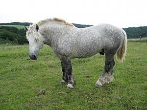 Verschieden Percherons zu verkaufen - Pferde kaufen in Maßweiler - pferde.de