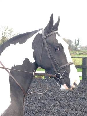 Carey Mill Sallyhttp - 15hh Flashy Show Cob for sale. Open to offers. http://www.equineclassifieds.co.uk/Horse/15hh-flashy-show-cob-for-sale-open-to-offers-listing-1152.aspx#.VJGU6cm4qq0